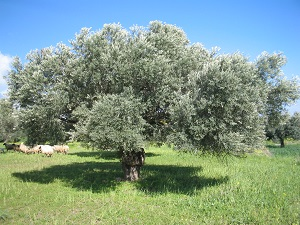 ελαιόδεντρο
